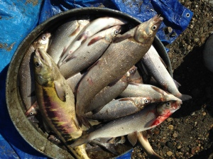 More than 10 tubs of mostly whitefish with a few grayling and salmon, too.